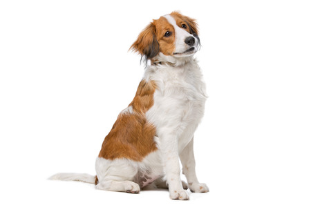 purebreed: Kooiker dog, Dutch Dog breed, in front of a white background