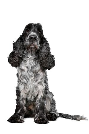 roan: Dark blue roan Cocker Spaniel in front of a white background Stock Photo