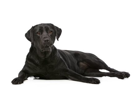 black dog: Black Labrador in front of a white background