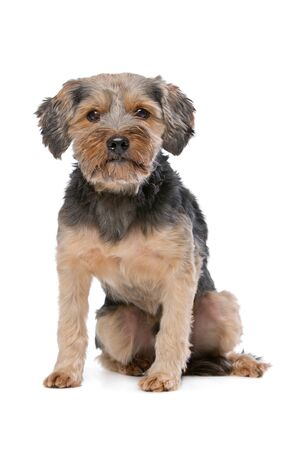 studio shots: mixed breed Yorkshire Terrier in front of a white background