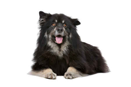Finnish Lapphund in front of a white background Reklamní fotografie