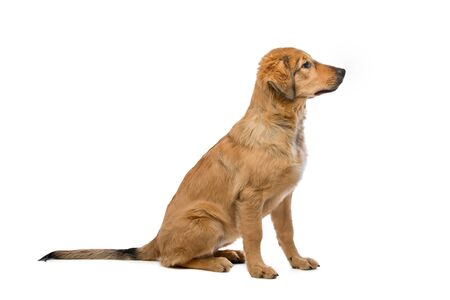 sidewards: brown mixed breed puppy in front of a white background