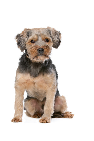 doggies: mixed breed Yorkshire Terrier in front of a white background