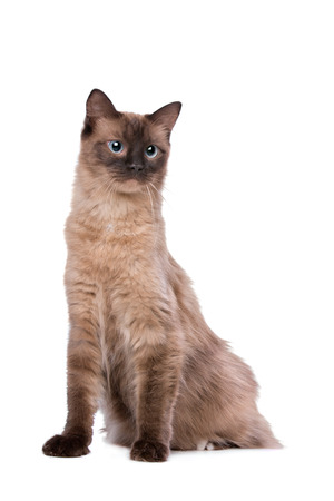 white cat: Ragdoll cat in front of a white background Stock Photo