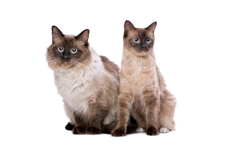 ragdoll: Two Ragdoll cats in front of a white background