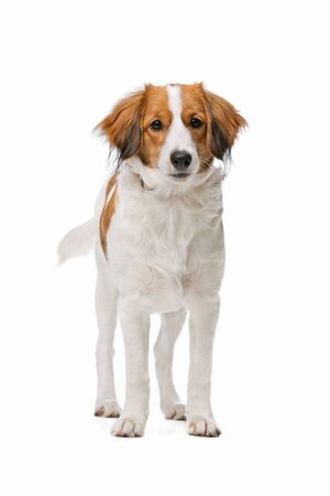 white dog: Kooiker dog, Dutch Dog breed, in front of a white background