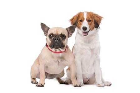 companionship: Bulldog franc�s y un perro Kooiker delante de un fondo blanco