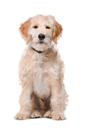 poodle mix: Beige Labradoodle dog in front of a white background
