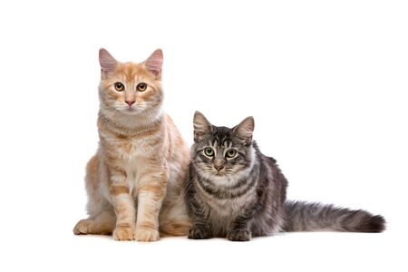 kitty cat: Maine Coone and Norwegian Forest cat in front of a white background Stock Photo