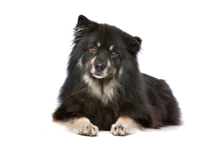 finnish: Finnish Lapphund in front of a white background Stock Photo