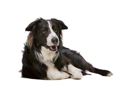 white dog: Black and White Border Collie dog in front of a white background Stock Photo