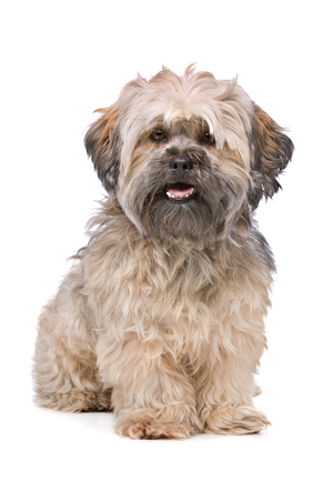 small dog: Mixed breed small fluffy dog in front of a white background