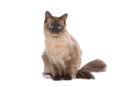 domestication: Ragdoll cat in front of a white background Stock Photo
