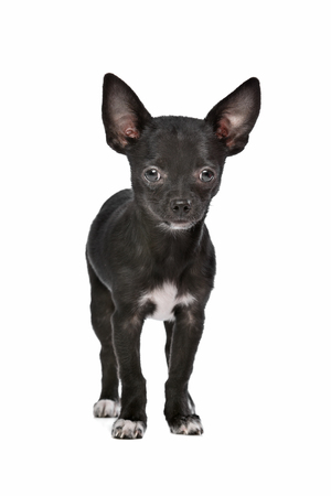 domestication: Black and white Chihuahua dog in front of a white background
