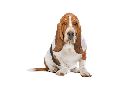 domestication: Basset hound in front of a white background