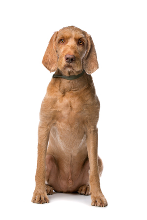 wirehaired: Wirehaired Vizsla dog in front of a white background
