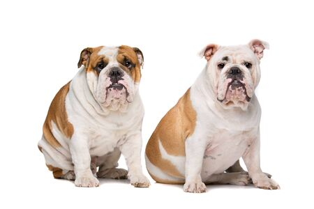 sit on studio: two English Bulldogs sitting on front of a white background