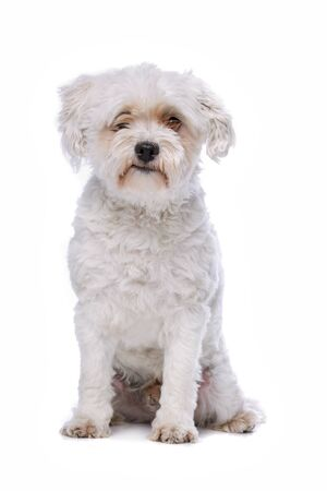 white dog: white mixed breed dog sitting in front of a white background