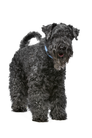 kerry blue terrier: Eight year old Kerry Blue Terrier standing in front of a white background