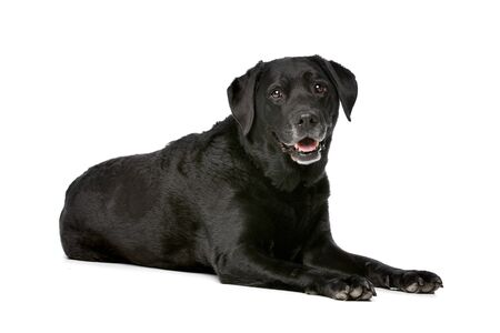 black dog: Eleven years old black Labrador in front of a white background Stock Photo