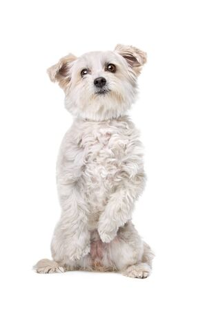 studioshot: Mixed breed dog in front of a white background sitting on back paws
