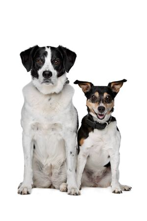 short hair dog: two mixed breed dogs sitting in front of a white background Stock Photo