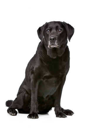 11 years old: Eleven years old black Labrador in front of a white background Stock Photo