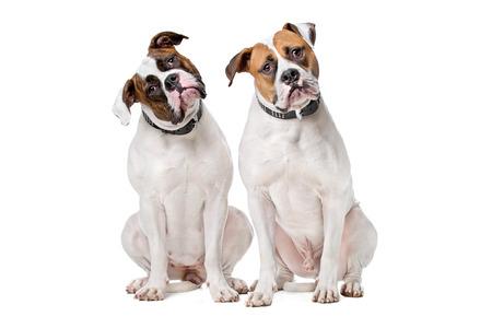 bulldog: dos dogos americanos se sientan delante de un fondo blanco