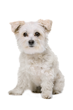 Mixed breed dog in front of a white background Stock Photo