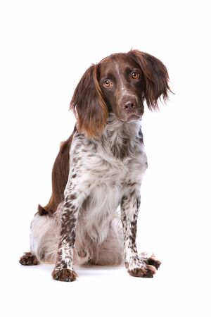 pointer dog: The Small Munsterlander also named as Heidewachtel in front of a white background