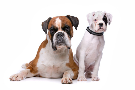 studioshot: Brown boxer dog and a boxer puppy in front of a white background