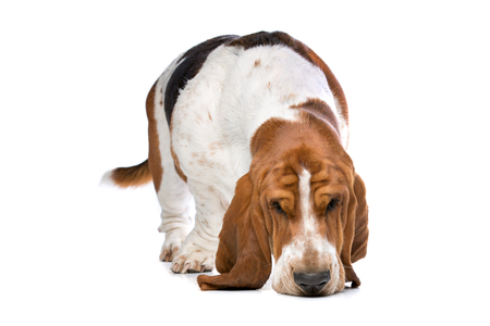 sniffing: Basset hound sniffing the ground in front of a white background