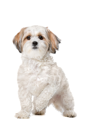 domestication: Mixed breed dog in front of a white background Stock Photo