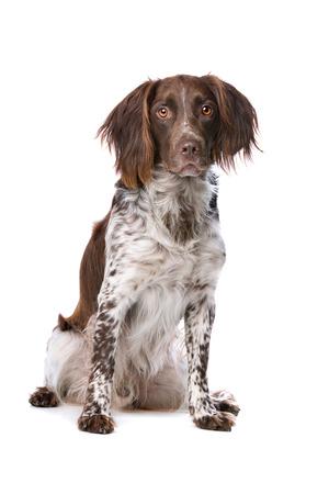 perro de caza: El Pequeño Munsterlander también nombrado como Heidewachtel delante de un fondo blanco Foto de archivo