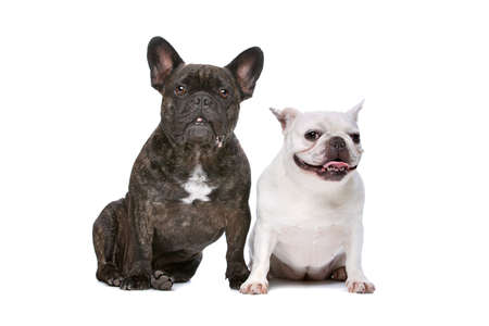domestication: two French bulldogs sitting in front of a white background