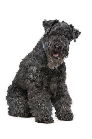 kerry blue terrier: Eight year old Kerry Blue Terrier sitting in front of a white background