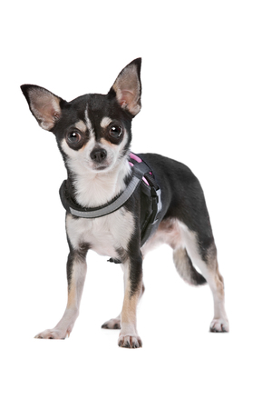 studio shots: Black and White Chihuahua dog in front of a white background