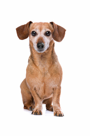 small dog: dachshund in front of a white background Stock Photo