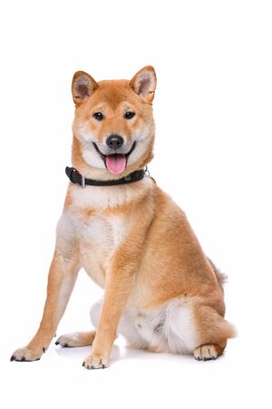breed: Shina Inu in front of a white background