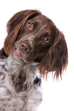 cap hunting dog: The Small Munsterlander ook named as Heidewachtel in front of a white background