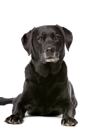 domestication: Eleven years old black Labrador in front of a white background Stock Photo
