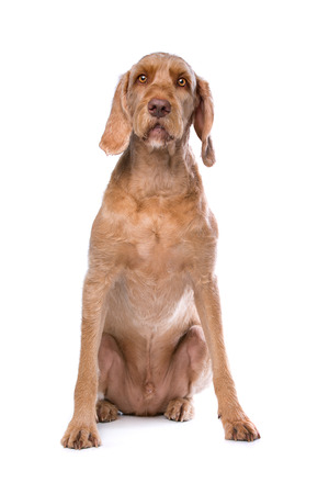 purebreed: Wirehaired Vizsla dog in front of a white background