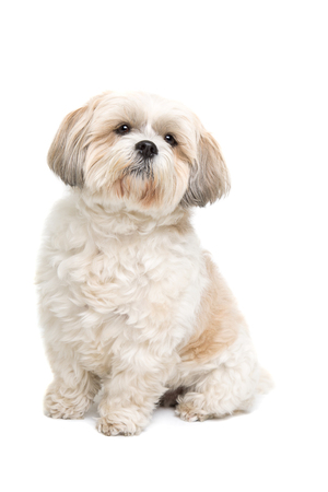 small dog: small fluffy white dog in front of a white background Stock Photo