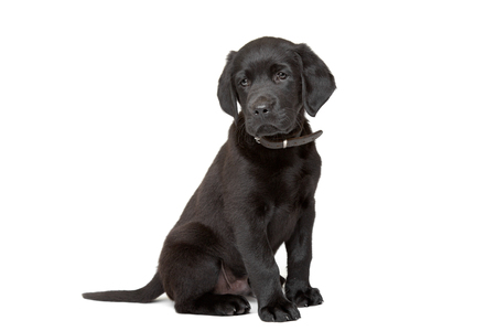 laboratory animal: black Labrador puppy sitting in front of a white background