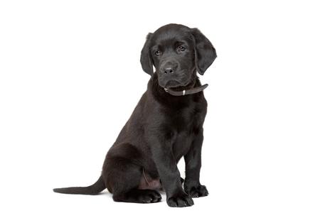 perrito: cachorro de labrador negro sentado delante de un fondo blanco Foto de archivo