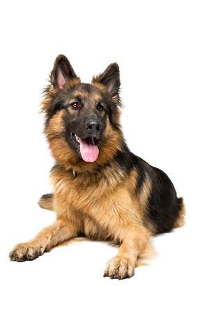 domestication: German shepherd lying in front og a white background