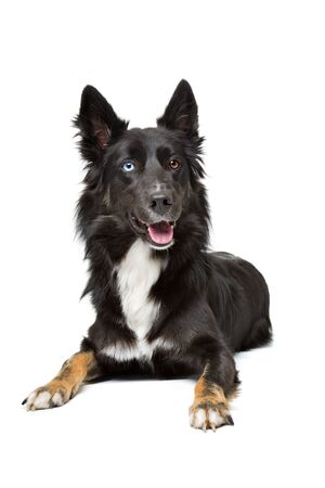 studioshot: Border Collie dog lying in front of a white background Stock Photo
