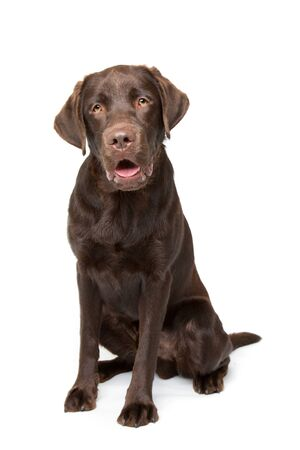 chocolate labrador: Chocolate Labrador dog sitting in front of a white background