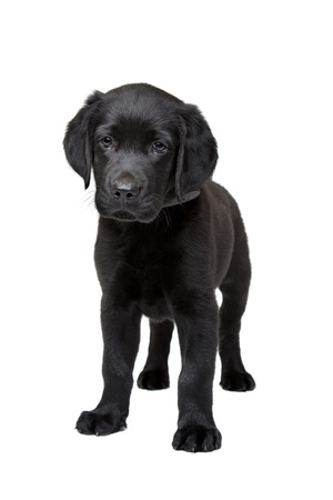 black Labrador puppy standing in front of a white background