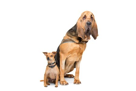bloodhound: Miniature Pinscher and a bloodhound sitting in front of a white background